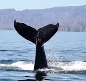 Valentina la baleine agite sa queue pour saluer ses sauveteurs