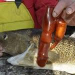 Un Pêcheur Trouve un Sextoy dans l'Estomac d'une Morue