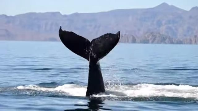 whale thanks her rescuers and say hello with her tail
