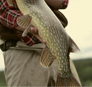 vidéo de pêche du brochet en Suède