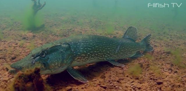 la chaine de plongée de filfish