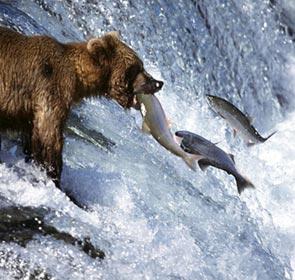un ours attrape au vol un saumon