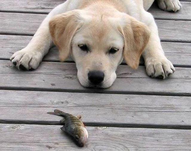 chiot Labrador regarde poisson