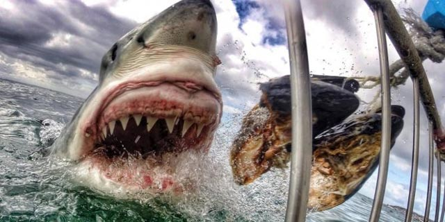 photo requin gopro Amanda Brewer