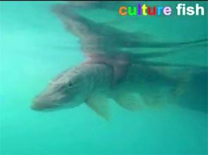 culture fish 65