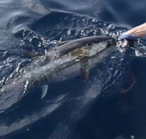 thon pris à la mouche en Méditerranée puis relâché
