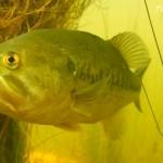 Les Black Bass du Parc de Peyre