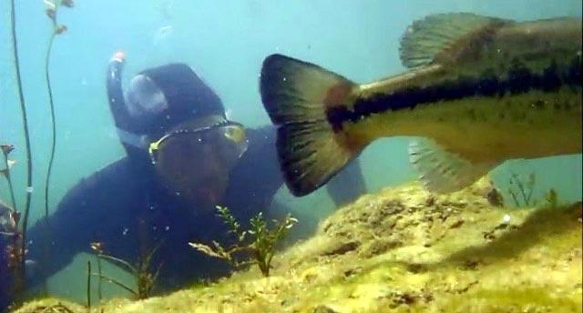 plongée sur un nid de black-bass